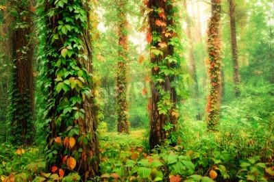 Fotomural Bosque mágico con troncos trenzados por coloridas uvas silvestres trepadoras