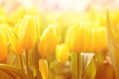Fotomural Brillante fondo floral con tulipanes amarillos y el efecto de la luz del sol