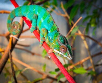 Fotomural Brillante y colorido camaleón sentado en una rama