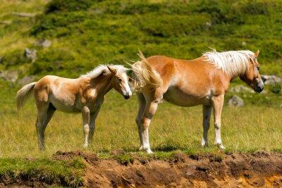Fotomural Brown y yegua blanca con potro / Brown y caballo blanco con potro en la montaña. Parque Nacional de Adamello Brenta, Trentino Alto Adigio, Italia