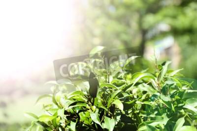 Fotomural Bush de té verde con hojas frescas, al aire libre