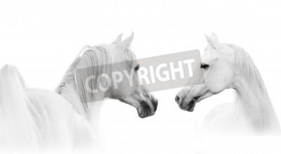 Fotomural caballo blanco árabe