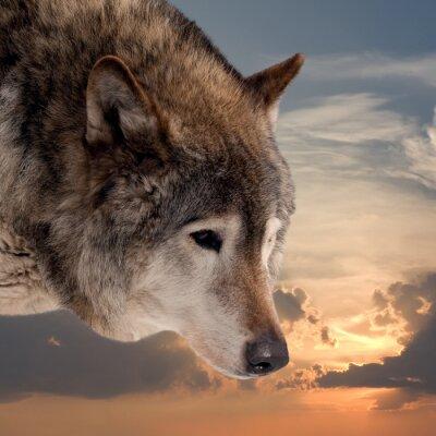 Fotomural Cabeza de lobo contra el cielo del atardecer