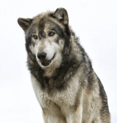 Fotomural Cabeza de lobo sobre fondo blanco