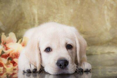 Fotomural Cachorro de raza labrador