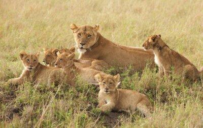 Fotomural Cachorros de león Pequeños relajantes