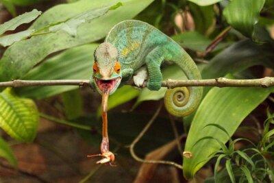 Fotomural Camaleão en Madagascar