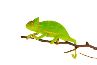 Fotomural Camaleón en una rama