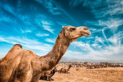 Fotomural Camel en la India