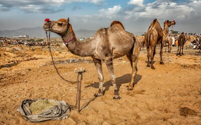 Fotomural Camellos en la Feria del Camello de Pushkar Mela, India