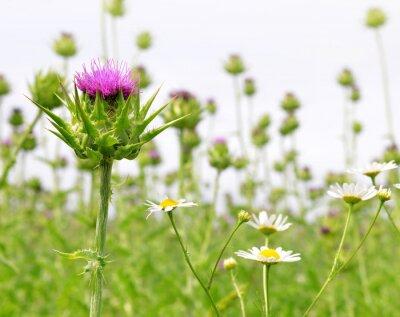 Fotomural Campo con Silybum marianum (Milk Thistle), plantas medicinales.