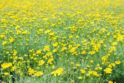 Fotomural Campo de diente de león amarillo.