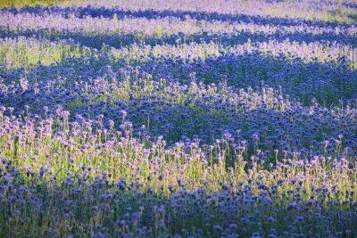 Fotomural Campo de flor púrpura