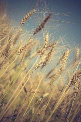 Fotomural Campo de trigo de oro y día soleado