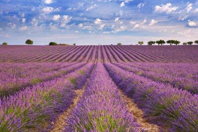 Fotomural Campos florecientes de lavanda en la Provenza, sur de Francia
