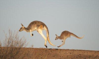 Fotomural Canguros en Sturt National Park, Nueva Gales del Sur, Australia