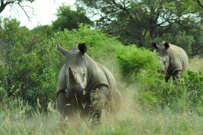 Fotomural Carga del rinoceronte