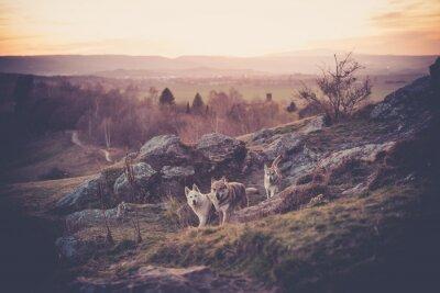 Fotomural Checoslovaco Woflshundrudel corriendo libremente en las montañas