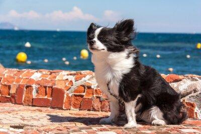 Fotomural Chihuahua