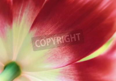 Fotomural Cierre de tulipán rojo, fondo abstracto de primavera