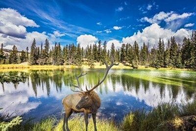 Fotomural Ciervo rojo con cuernos rameados cuesta en el lago con encanto
