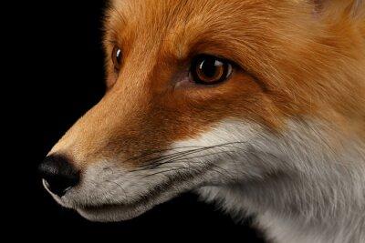 Fotomural Closeup retrato de Fox rojo en el perfil aislado en negro