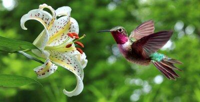 Fotomural Colibrí rondando al lado de flores de lirio vista panorámica