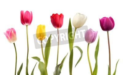 Fotomural Conjunto de siete flores de tulipán de diferentes colores aisladas sobre fondo blanco