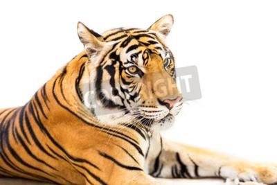 Fotomural Crouching tigre siberiano joven aislado sobre fondo blanco