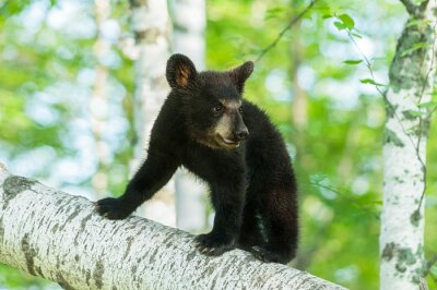Fotomural Cubo de oso negro (Ursus americanus) gira en la rama