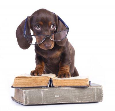 Fotomural dachshund raza pura en vidrios y libro