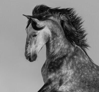 Fotomural Dapple-gris andaluz semental - retrato en movimiento