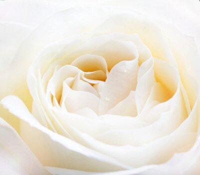 Fotomural delicada rosa blanca de cerca la imagen
