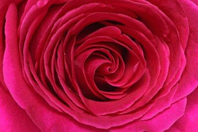 Fotomural Détail d'une rosa
