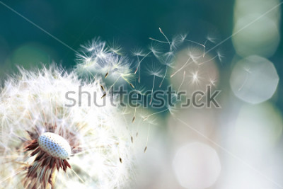 Fotomural Diente de león. Cerca de las esporas de diente de león que soplan lejos, semillas de diente de león en la luz del sol soplando a través de un fondo verde mañana fresca