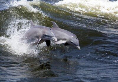 Fotomural Dos delfín de Bottlenose (Tursiops trunca)