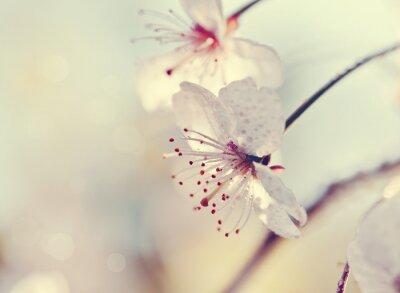 Fotomural Dos flores de primer plano de cereza