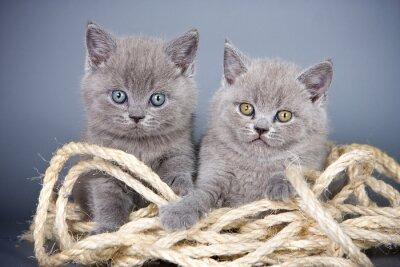 Fotomural Dos gris gatito británico y cuerda sobre un fondo gris