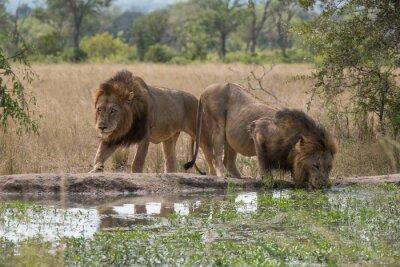 Fotomural dos hermanos leones en el abrevadero
