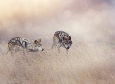 Fotomural Dos lobos en hierba alta