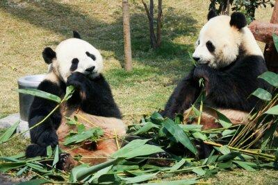 Fotomural Dos pandas comiendo bambú