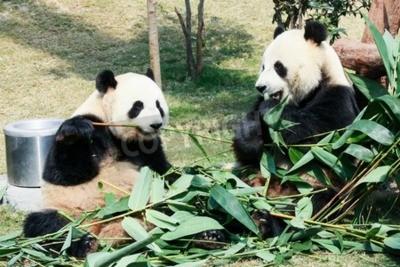 Fotomural Dos pandas gigantes comiendo bambú