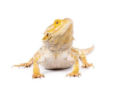 Fotomural Dragón barbudo