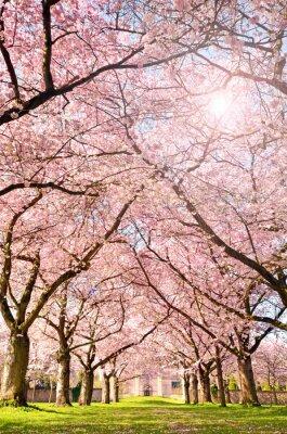 Fotomural El color de la primavera: jardín con flores de cerezo japonés :)