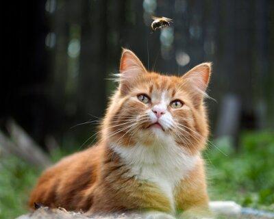 Fotomural El gato está mirando el vuelo del abejorro. Gato grande, rojo y esponjoso. Conceptualmente - animales recreación al aire libre. El gato caza insectos. Picaduras de insectos y alergias en animales