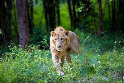 Fotomural El león asiático muy raro en un parque nacional en la India. Estos tesoros nacionales están ahora protegidos, pero debido al crecimiento urbano nunca podrán recorrer la India como solían hacerlo.