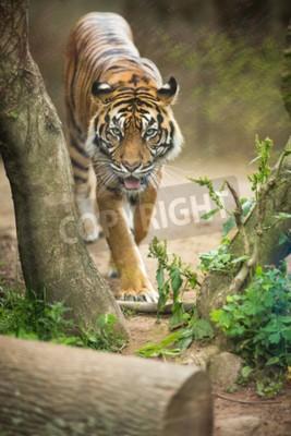Fotomural El primer de un tigre siberiano también sabe como el tigre de Amur (altaica del tigris del Panthera), el gato vivo más grande