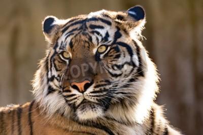 Fotomural El tigre de Sumatran (Panthera tigris sumatrae) es una subespecie rara del tigre que habita la isla indonesia de Sumatra