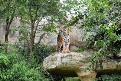 Fotomural El tigre es una tarifa feroz.