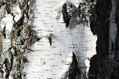Fotomural El tronco de un abedul
